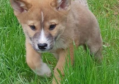 Dingo_Pup1_lg